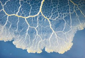 Cultivo en agar de Physarum polycephalum.