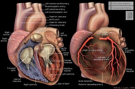 Anatomia del corazón, válvulas y arterias coronarias.